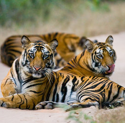thumbnail Groepsrondreis India - tijgerreis