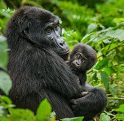thumbnail Groepsrondreis Uganda en Rwanda