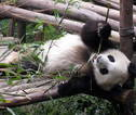 Panda in Breeding Center in Chengdu