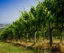 Toscane wijngaard