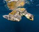 Costa Rica Schildpad