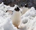 Pinguïns in de sneeuw