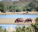 01 nijlpaarden