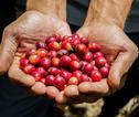 Costa Rica Koffie