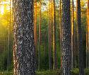 Finland bos met zon